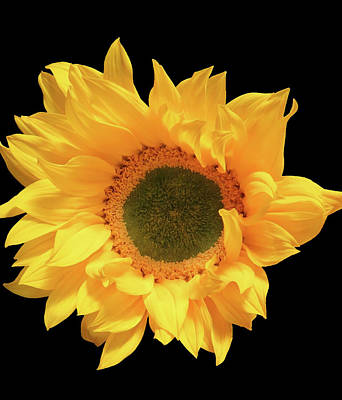 Photograph - Bright Sunflower 2 by Johanna Hurmerinta