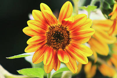 Winter Animals Rights Managed Images - Bright Sunflower Royalty-Free Image by Selena Lorraine