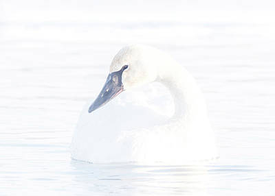 Photograph - Bright Swan #1 by Patti Deters