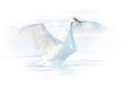 Photograph - Bright Swan #3 by Patti Deters