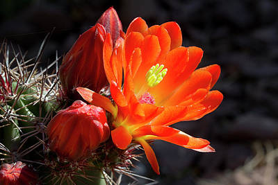 Bright Tangerine Cactus Flower Art Print by Phyllis Denton