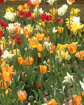 Art Print featuring the photograph Bright Tulips by Michael Flood