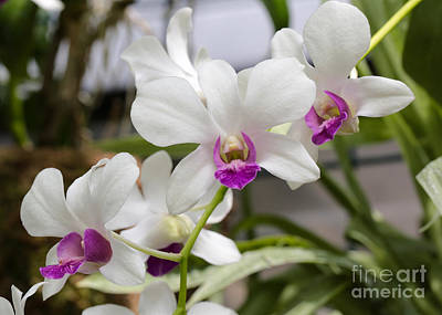 Photograph - Bright White Orchids by Carol Groenen