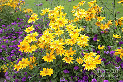 Photograph - Bright Yellow And Purple Flowers by Carol Groenen