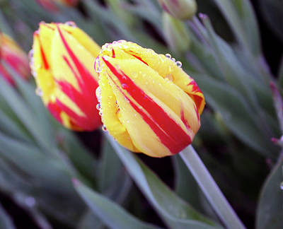Bright Yellow And Red Tulips Print by Kami McKeon