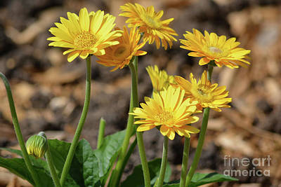 Photograph - Bright Yellow Flowers  by Ruth Housley
