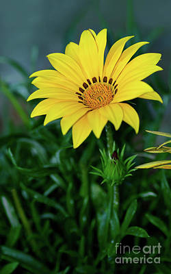 Print featuring the photograph Bright Yellow Gazania By Kaye Menner by Kaye Menner