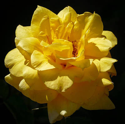 Photograph - Bright Yellow Rose by Laurel Powell