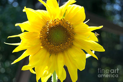 Photograph - Bright Yellow Sunflower With Bee by Eunice Miller