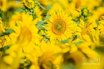 Photograph - Bright Yellow Sunflowers by Cheryl Baxter