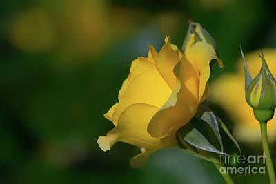 Bright Yellow Walking On Sunshine Rose Art Print