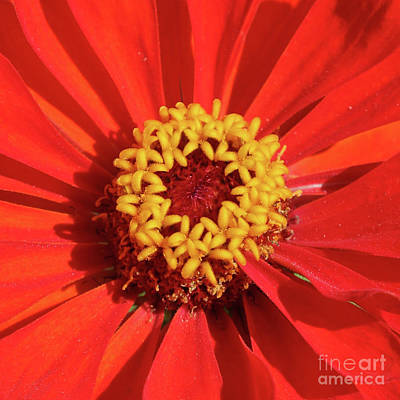 Yellow Photograph - Bright Zinnia by Carol Groenen