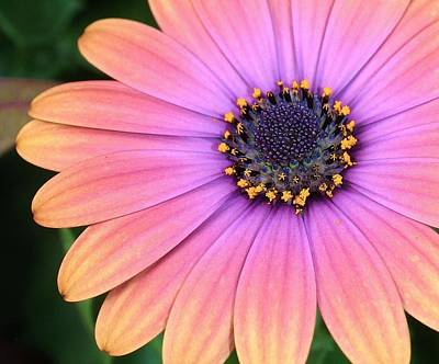 Photograph - Briliant Colored Daisy by Bruce Bley