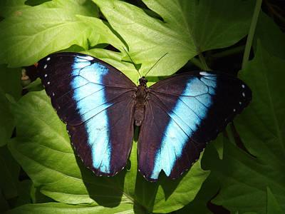 Brillant Blue Butterfly Art Print by Nicole I Hamilton