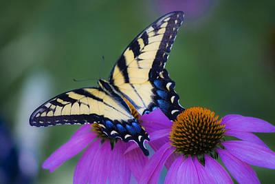 Blue Swallowtail Photograph - Brilliant And Broke by Teresa Mucha