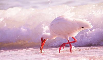 Ibis Photograph - Brilliant Beauty Cortez Beach by Betsy Knapp
