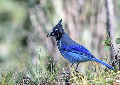 Photograph - Brilliant Blue Bird The Stellar's Jay by Debra Martz