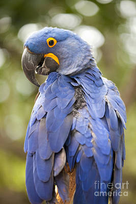 Bear Photography Rights Managed Images - Brilliant blue hyacinth macaw Royalty-Free Image by Anthony Totah