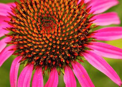 Photograph - Brilliant Echinacea by Jean Noren