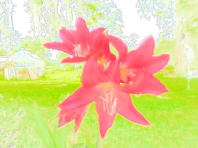 Photograph - Brilliant Pink Crinum Lily by Belinda Lee