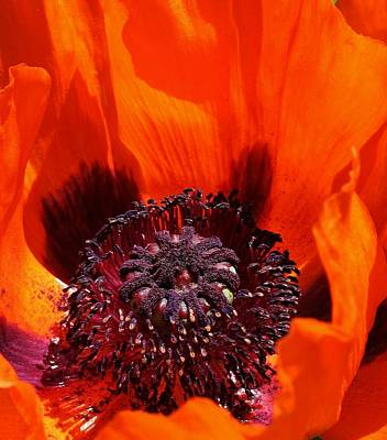 Photograph - Brilliant Poppy by Bruce Bley