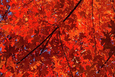 Photograph - Brilliant Red Autumn Under The Maple Tree by Georgia Mizuleva