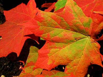 Photograph - Brilliant Red Leaves by Beth Akerman