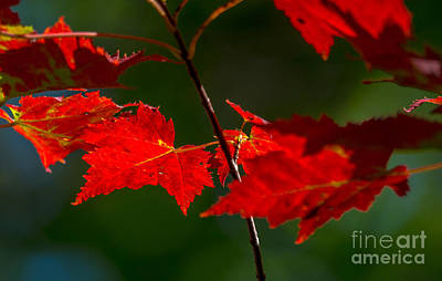 Photograph - Brilliant Red Maple Leaves by Cheryl Baxter