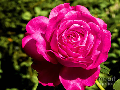 Photograph - Brilliant Rose by Bob and Nancy Kendrick