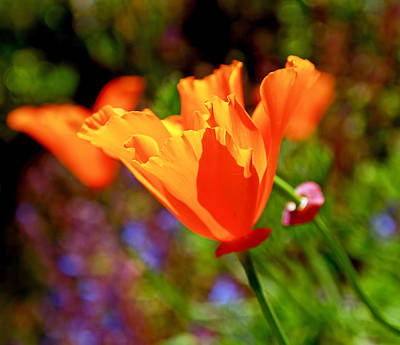 Photograph - Brilliant Spring Poppies by Rona Black