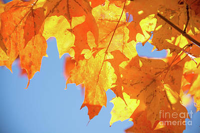 Photograph - Brilliant Sunlit Maple Leaves by Cheryl Baxter