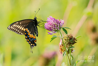 Photograph - Brilliant Swallowtail Butterfly by Cheryl Baxter