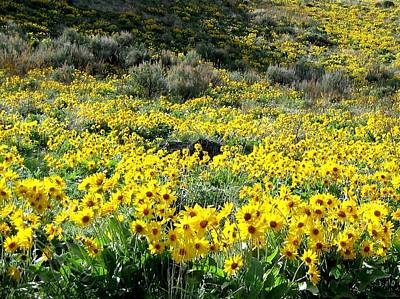 Photograph - Brilliant Wild Sunflowers by Will Borden