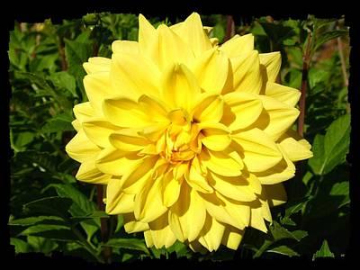 Photograph - Brilliant Yellow Dahlia by Will Borden