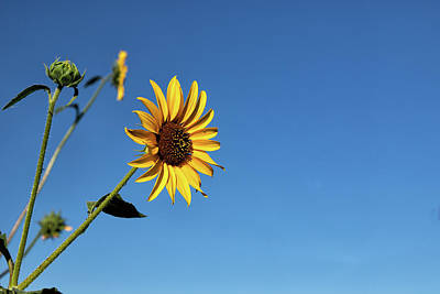 Photograph - Brilliant Yellow Sunflower Against Blue Skies by Tony Hake