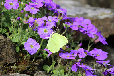 Photograph - Brimstone And Aubretia by Julia Gavin