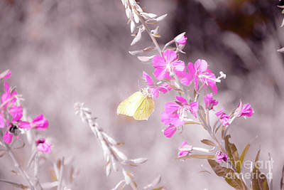 Butterfly Photograph - Brimstone Butterfly by Amanda Mohler