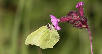 Photograph - Brimstone Butterfly by Wendy Cooper