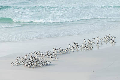 Penguins Photograph - Bringing Home The Bacon by Usha Peddamatham