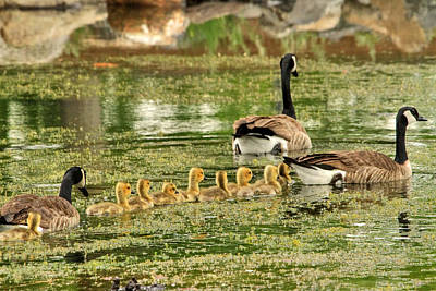 Baby Geese Wall Art - Photograph - Bringing Up The Rear by Donna Kennedy