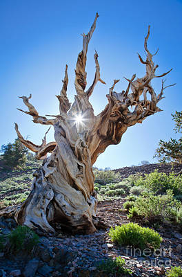 Photograph - Bristlecone And Sun by Olivier Steiner