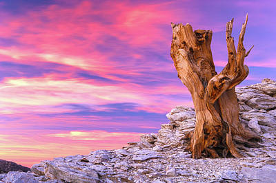 Photograph - Bristlecone At Sunset by Eric Foltz