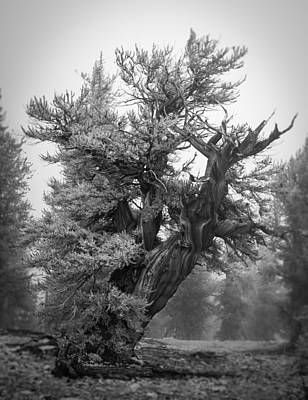 Photograph - Bristlecone Beauty by Dusty Wynne