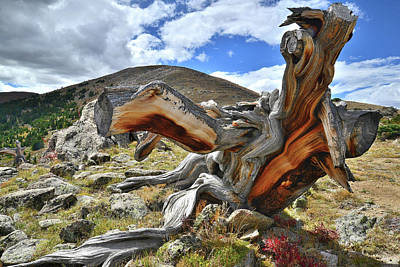 Photograph - Bristlecone Dinosaur by Ray Mathis