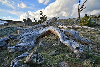 Photograph - Bristlecone Down On Mt. Evans by Ray Mathis