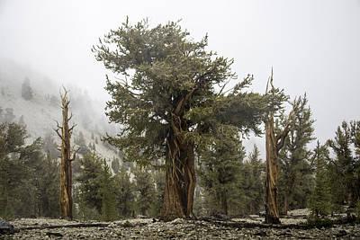 Photograph - Bristlecone Elder by Dusty Wynne