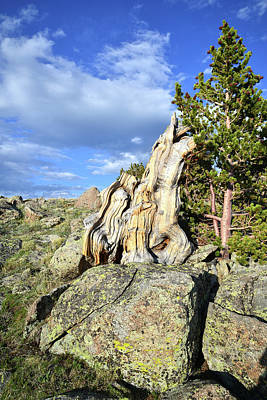 Photograph - Bristlecone Evening On Mt. Evans by Ray Mathis