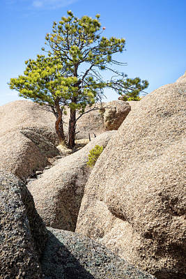 Photograph - Bristlecone In Granite 2 by Tim Newton