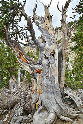 Photograph - Bristlecone Loop Trail Tree by Ray Mathis