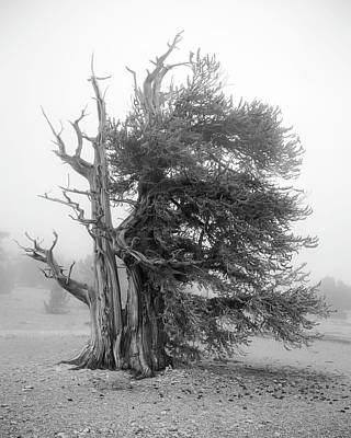 Photograph - Bristlecone Mist by Dusty Wynne